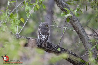 Glaucidium capense - African Barred Owlet.