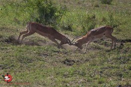 May is Impala rutting season...