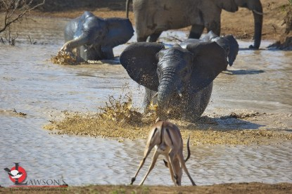 Elephant taking offence at an Impala sharing the waterhole.