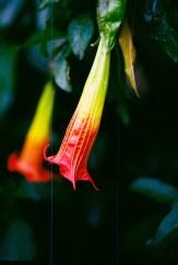 Khantuta buxifolia, a flag in a flower