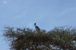 Marabu stork