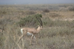 Game run in Amboseli Park