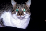 Famous cat oicture
