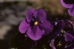 Eve's violet