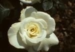 NYBG - Roses