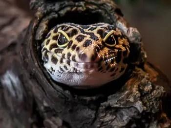 Leopard Gecko Head in a Log