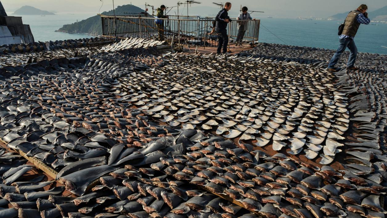 Quelles menaces pèsent aujourd'hui sur les requins ?