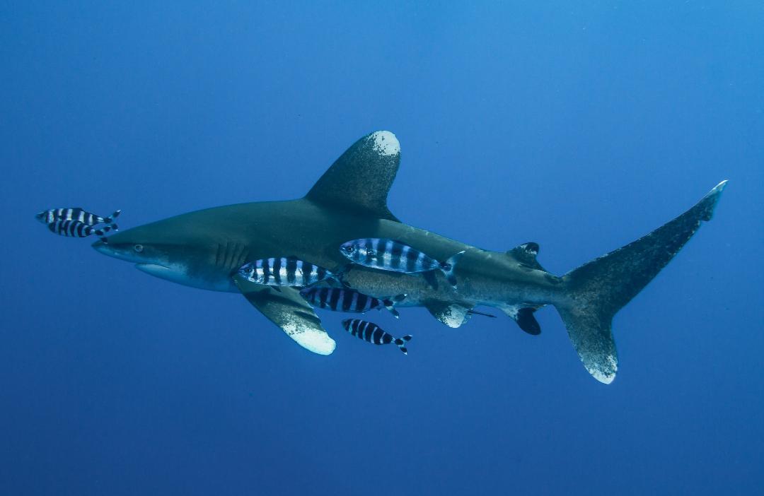 Requin océanique (Carcharhinus longimanus)