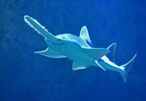 Comment différencier les requins des raies ?