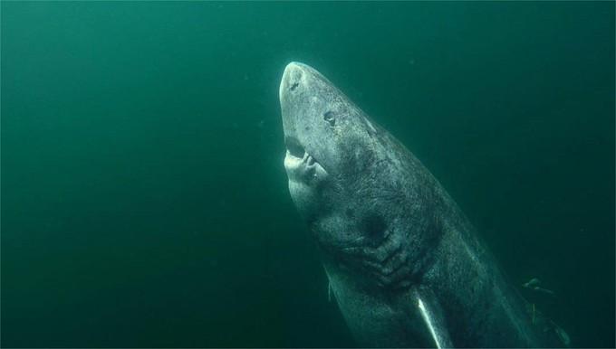 Un requin qui pourrait vivre plus de 400 ans ?