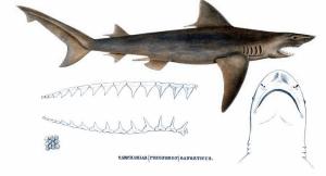Requin du gange (Glyphis gangeticus)
