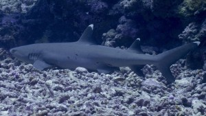 Serge Melesan requin corail
