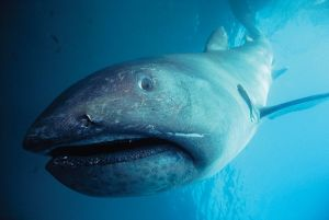 L'un des requins les plus rares au monde