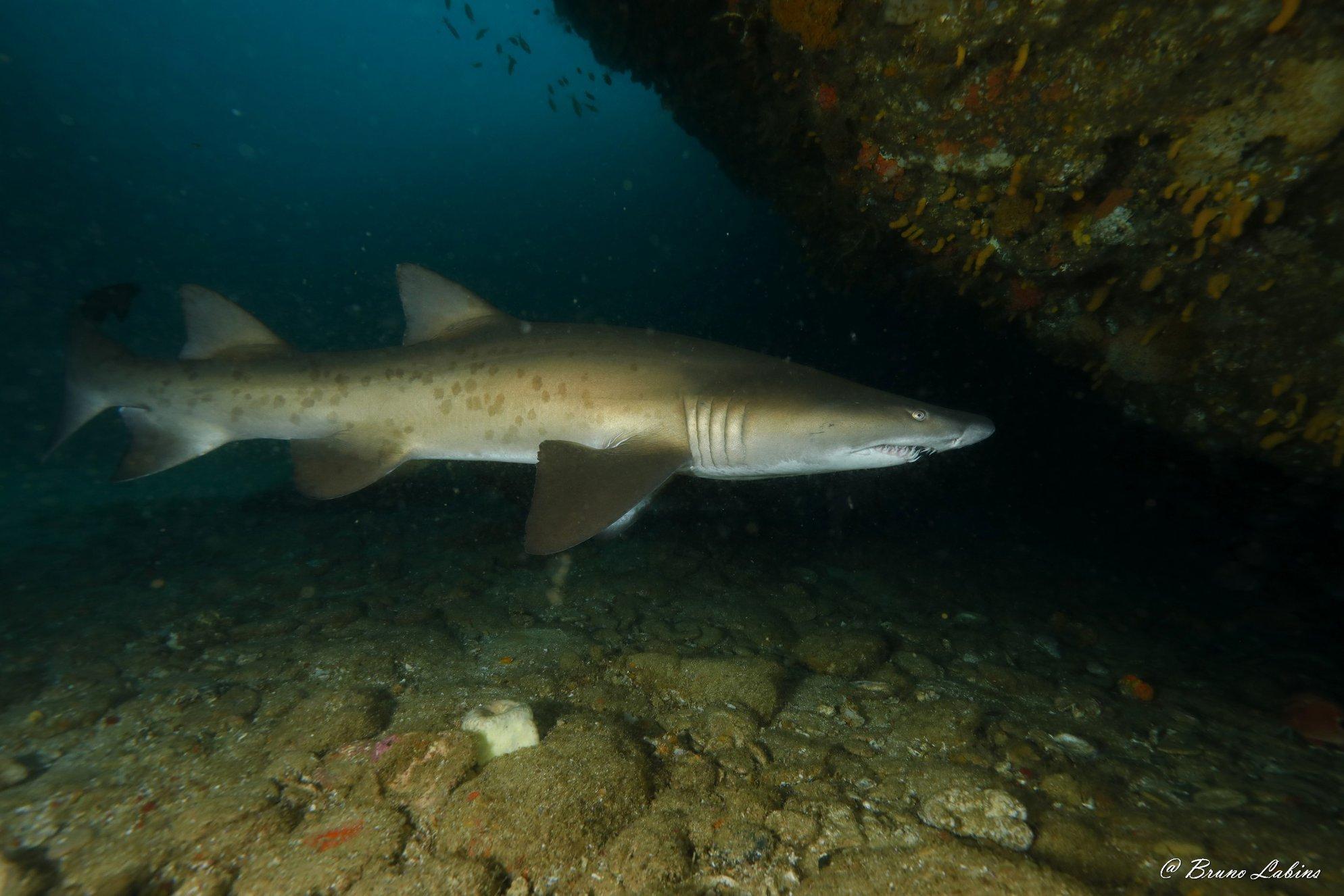 Requin taureau (Carcharias taurus)