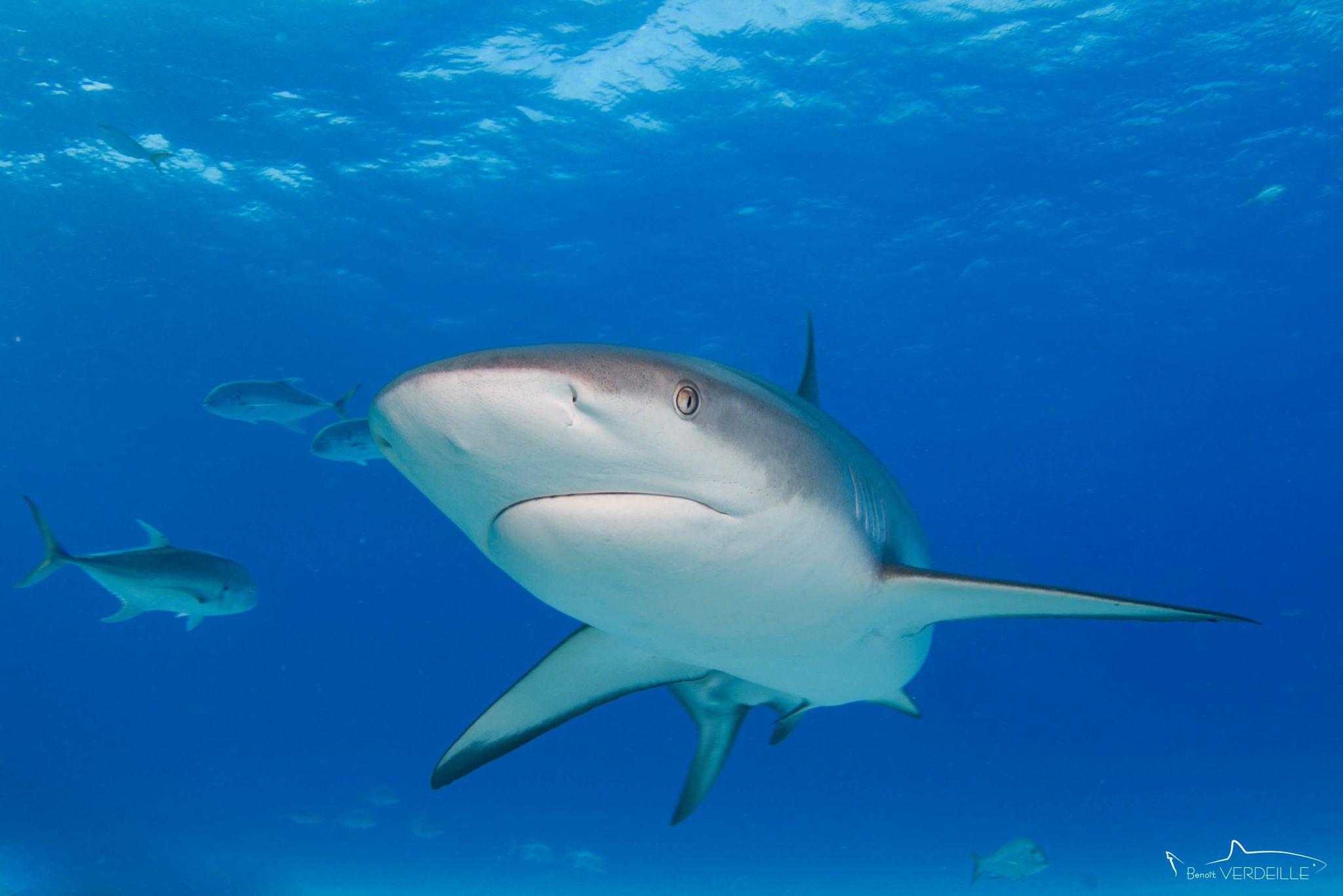 Requin gris des caraïbes (Carcharhinus perezii)