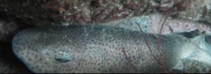 Le sommeil des requins, une caractéristique très variable