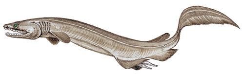 Requin franché (Chlamydoselachus anguineus)