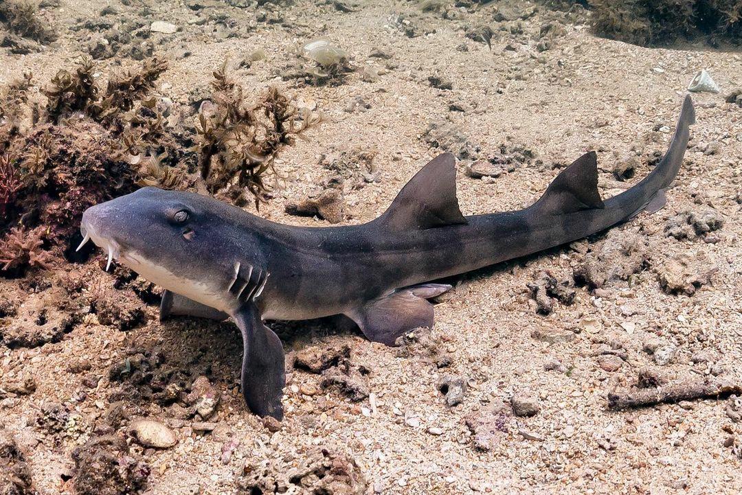 Requin-chabot gris (Chiloscyllium griseum)