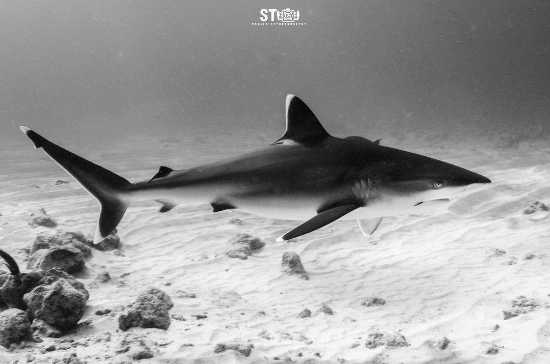 Requin pointe blanche (Carcharhinus albimarginatus)