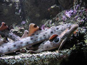 Requin-chabot ocellé (Hemiscyllium ocellatum)