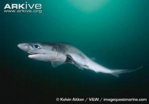 Requin perlon (Heptranchias perlo)