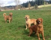 The Retriever Pack Duke, Ginger & Oscar