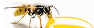 Abeille buvant du nectar