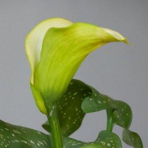 Fleur de calla