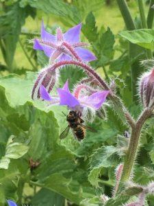 insecte butinant une fleur de bourrache