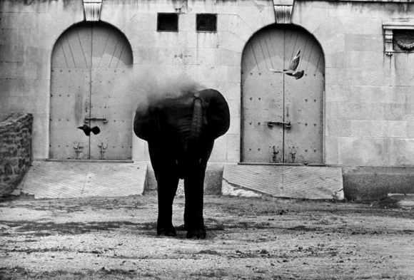 Garry Winogrand : un éléphant s'arrose d'eau