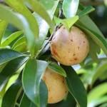 muscade-noix-entiere-bio
