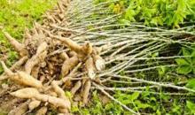 Autosuffisance alimentaire: les travaux d'une usine de transformation de riz et de manioc de la région du Tonkpi lancés