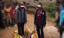 [Côte d'Ivoire/Tabaski 2020] Des voleurs de moutons pris la main dans le sac à Issia