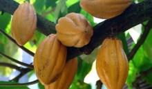 [Prix du cacao] Pari réussi pour la Côte d'Ivoire et le Ghana