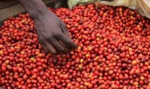 [Côte d'Ivoire/Commercialisation du Café] Le prix fixé à 550 francs CFA/Kg à partir du 28 décembre prochain