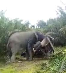 [Côte d'Ivoire] L'impuissance du gouvernement face au cas de l'éléphant Hamed