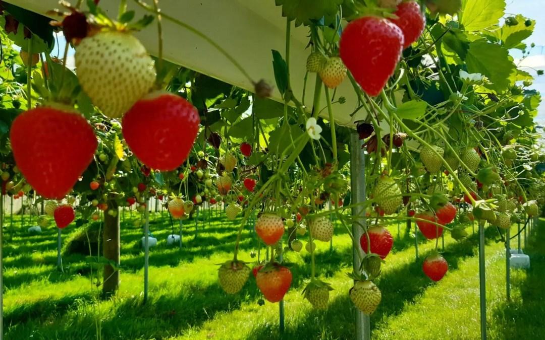 6 septembre : importante production de fraises