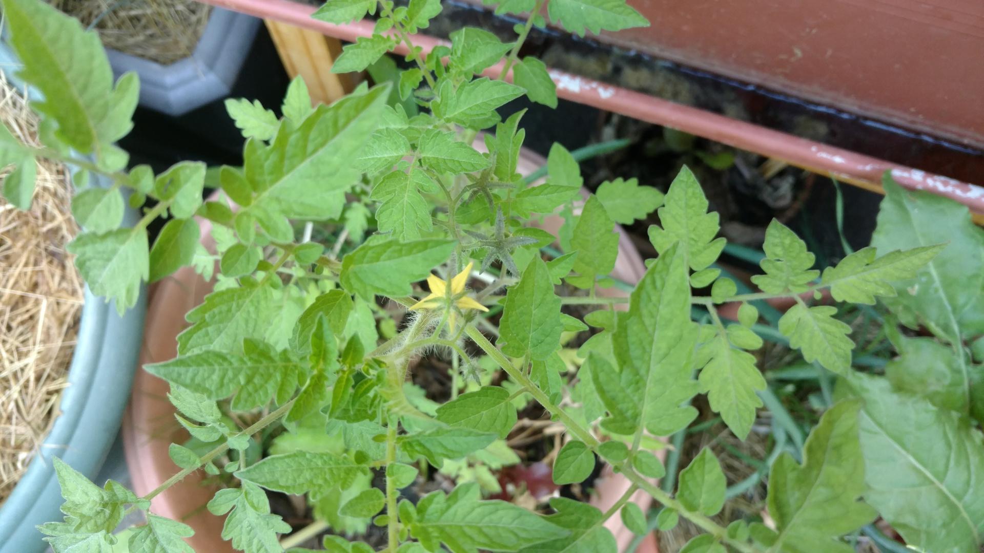 Plantation de tomate cerise