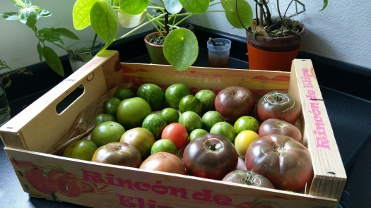 cagette-tomate-verte-murir-recolte