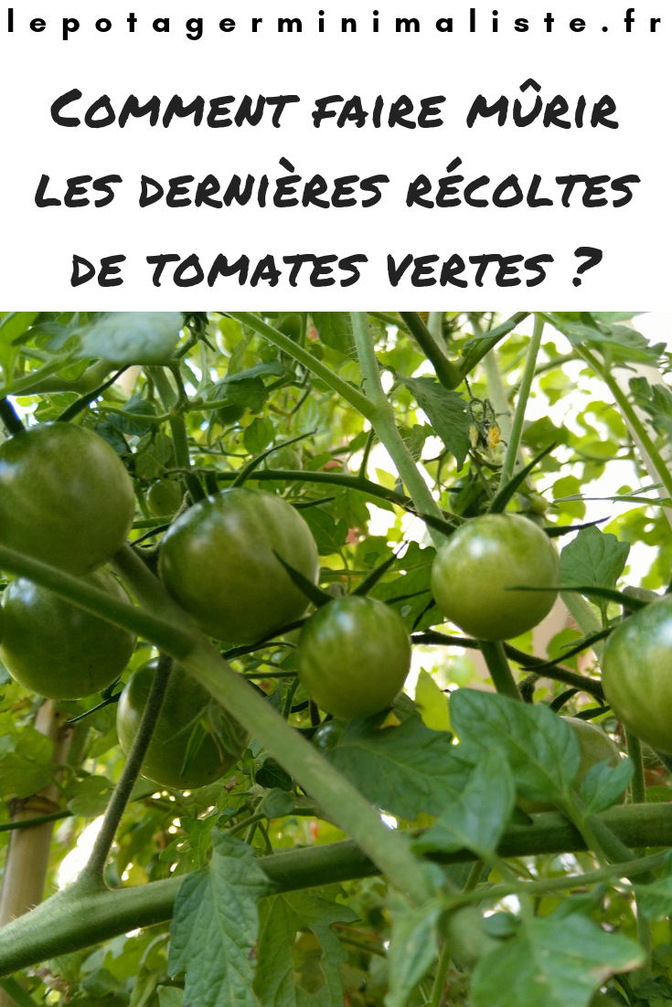 tomate-verte-potager-pot-fleurs-pinterest