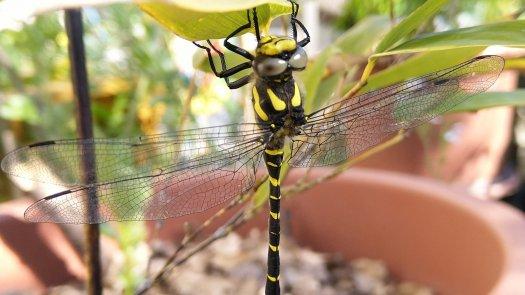 Une libellule posée sur le bambou de mon potager urbain