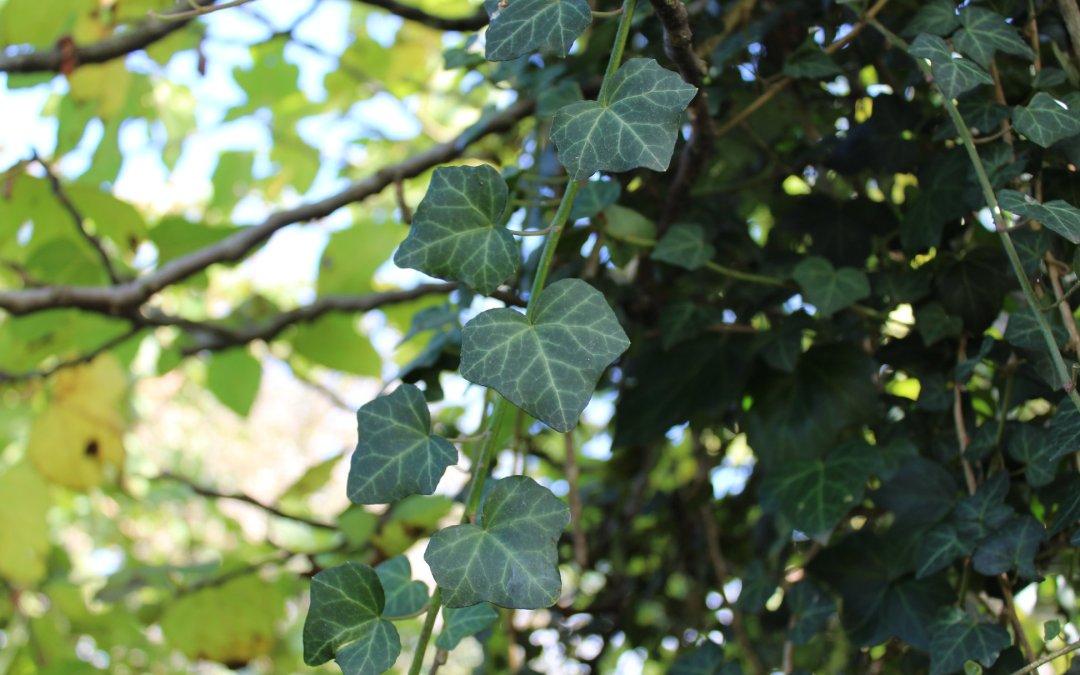 Le lierre, un atout dans un jardin en permaculture.