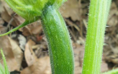 Les légumes d'été à semer plusieurs fois pour étaler ses récoltes.