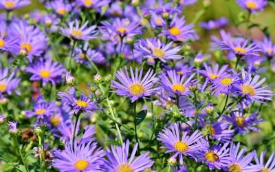 Les Asteracées, une super famille de plantes !
