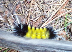Nor can I identify this funky caterpillar.