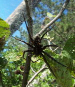 A really, really large spider. I haven't managed to identify it as of yet, but it was around 10cm in diameter (I used the width of my hand as a gauge). It had covered the last foot of the branch with webbing and had a fallen pinecone stuck in it!