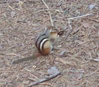 A chipmunk.