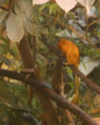 There are at least a pair, but only one Golden lion tamarin  (Leontopithecus rosalia) would pose for the photo long enough  for me to clear the fog off the lens.