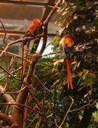A pair of Scarlet macaws (Ara macao).