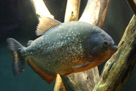 Pygocentrus nattereri (Serrasalmus nattereri) also known as the  Red Bellied Piranha.  I *so* want one!  Look out Boing!